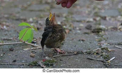 Young baby bird being fed - Blackbird fledgling being fed...