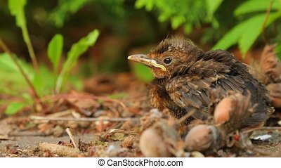 Young baby bird sittin on the ground - Blackbird fledgling...