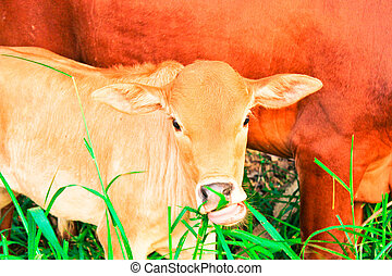 young baby cow with mom eat fresh green grass on soil ground, culture thai agriculture vintage style