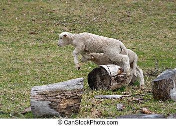 young baby lamb jumping