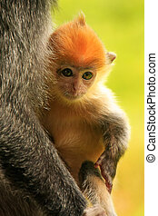 Young baby of Silvered leaf monkey, Sepilok, Borneo,...