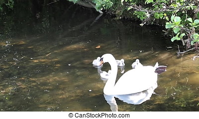 Young baby swans at a lake in springtime, handhold video...