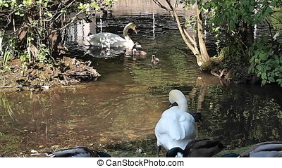 Young baby swans at a lake in springtime, handhold shot -...