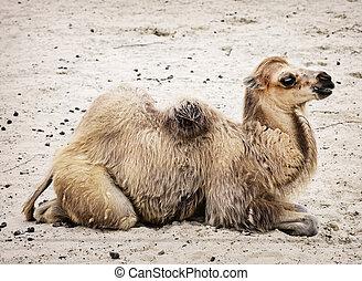 Young Bactrian camel - Camelus bactrianus. Profile portrait....