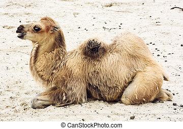 Young bactrian camel (Camelus bactrianus). Profile portrait.