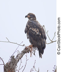 Young bald eagle in a tree.