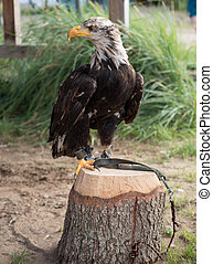 Young bald eagle sitting on a tree stump outdoors