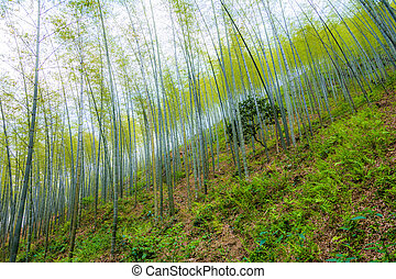 Young bamboo forest on the hillside
