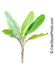 Young banana tree. (Scientific Name : Musa Acuminata)