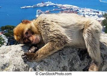 Young Barbary Ape. - Barbary Ape (Macaca Sylvanus) lying on...