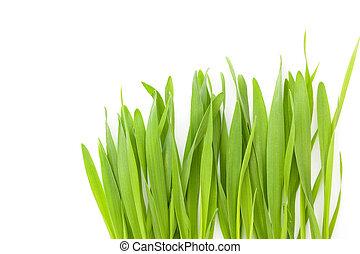 Young barley grass.
