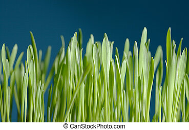 young barley seedlings against blue background