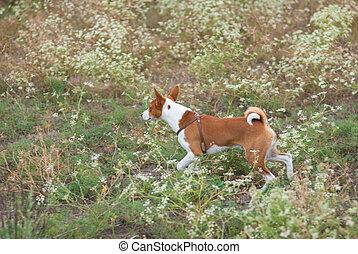 basenji dog running in wild grass at late summer season