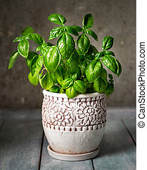 Young basil in a ceramic pot, grown at home