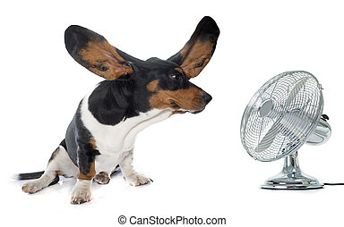 young Basset Hound and ventilator - Basset Hound in front of...