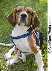 Young Beagle Dog