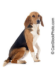 Beagle Harrier - young Beagle Harrier in front of white ...