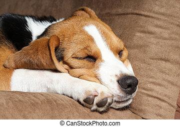 Young beagle sleep on pillow.