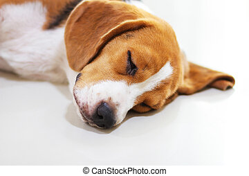 Young beagle sleep