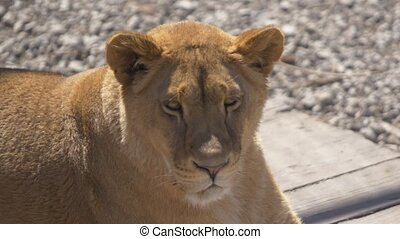 Young beautiful lioness looks at you.