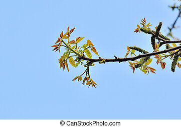 young beech leaves witn blue sky background