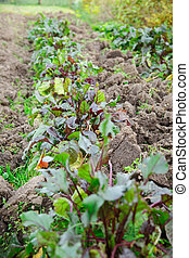 Young beetroot bed growing on soil