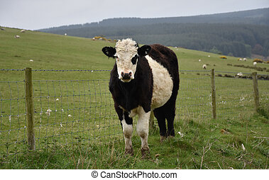 Young Belted Galloway Calf Standing in a Pasture