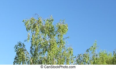 Young birch against the blue sky in the spring.