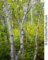 Young Birch in September