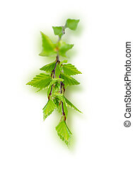 young birch leaves isolated