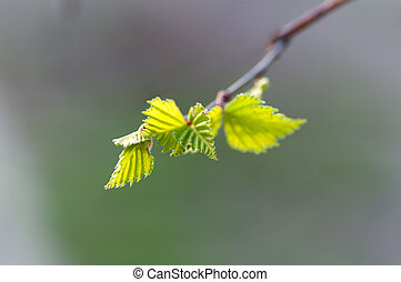 young birch leaves on a branch