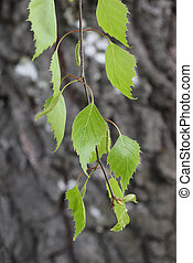 Young birch leaves on a branch.