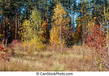 Young birches growing on the edge of forest in autumn