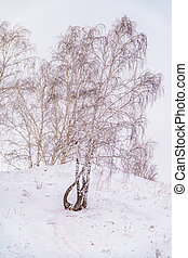 Young birches in the winter forest