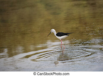 young bird called black-winged stilt goes hunting for fish