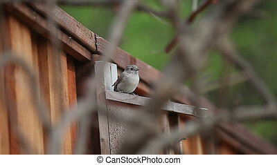 young birds leave nest box - tufted timouse fledgling...
