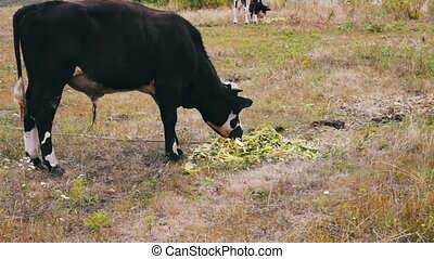 Young black-and-white bull eats a feed that lies on the...