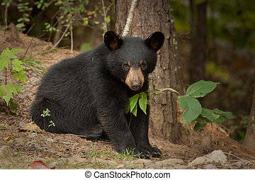 young wild black bear sitting in the woods