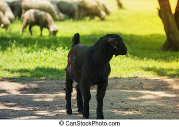 young black goat on farm alley