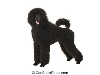 Young black king poodle seen from the side with open mouth isolated on a white background