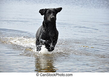 black labrador running in water