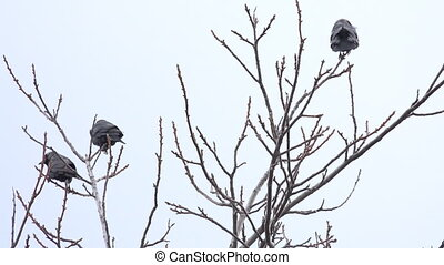 Young Black Rook is Sitting on a Tree Branch