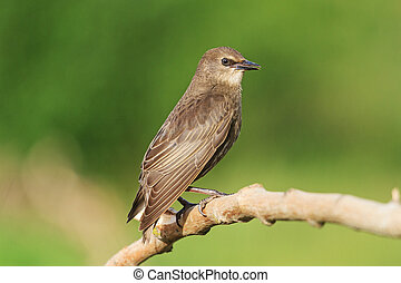 young black starling sits on a branch