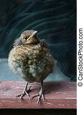 Young blackbird which has just half hour flown out of nest, sitting in window of old barn with rope in background, waiting for feed from parents