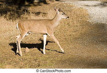 young blacktail buck - a young male black-tailed deer in ...