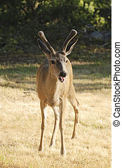 young blacktail buck caught with mouth open as he was ...