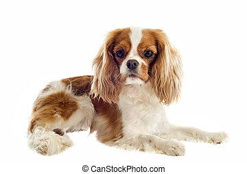 cavalier king charles - young blenheim cavalier king charles...