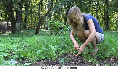 Young blond gardener woman in shorts picking harvesting fresh organic carrots in garden. 4K