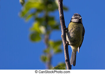 Young Blue Tit (Cyanistes Caerleus)
