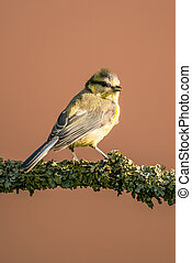 Young blue tit with baby colored feathers
